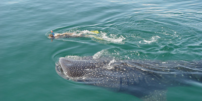 Swim with Whale Shark, Activities in Tulum