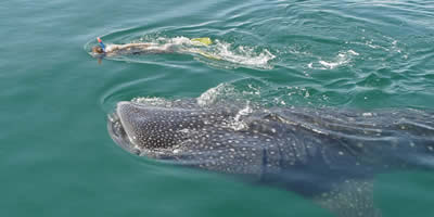 Whale Shark from Cozumel, Activities in Riviera Maya